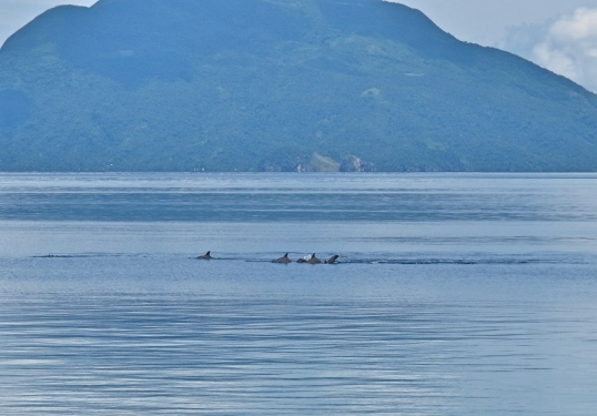 A pod of dolphins passing through